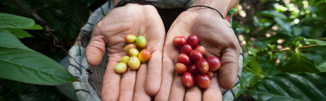 Mezinárodní den kávy připomene kampaň Fandíme Fairtrade