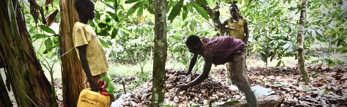 Fairtrade International vítá, že vlády Pobřeží slonoviny a Ghany vyhlásily důstojný příjem pěstitelů kakaa za svou prioritu