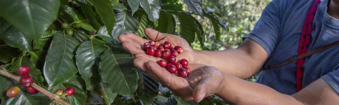 Covid-19: dopady na pěstitele kávy na globálním Jihu