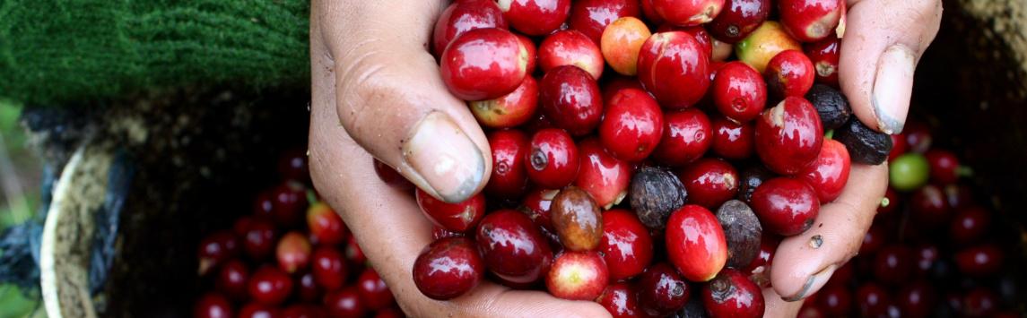 Minimální výkupní cena a fairtradový příplatek