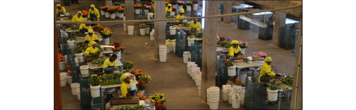 Svatý Valentýn zvyšuje prodeje řezaných květin, na českém trhu stále chybí ty fairtradové