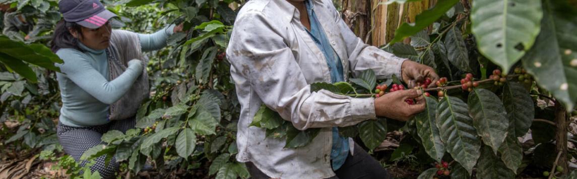 Fairtrade International vyzývá země G20, aby podpořily pěstitele zrozvojových zemí v boji sonemocněním covid-19