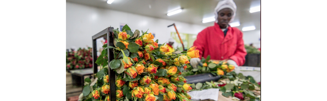 Český obchodní řetězec poprvé zavádí fairtradové květiny do stálého sortimentu